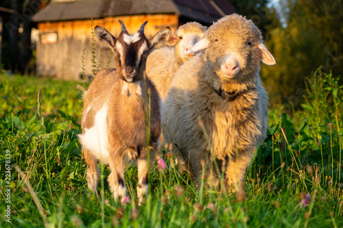 Fotografia, Obraz sheep and goat in the pasture in the mountainous village