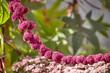 Pflanze Pink blühen Makro