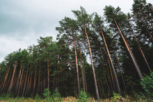 High Pines Under Cloudy Sky. Background Of Pine Forest Boundary. Texture Of Pinery. Wall Of Amazing Coniferous Trees In Overcast Weather. Atmospheric Green Landscape.