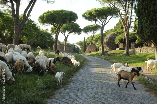 Many sheeps crossing the ancient Appianian way in Rome.