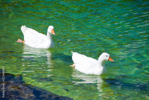 Coppia di cigni in un laghetto di montagna