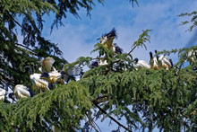 Wedge Of African Sacred Ibis On Larch Tree