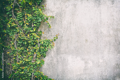 Color classic of Ivy leaves on the wall of cement