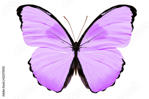 фиолетовая бабочка изолированная на белом фоне
