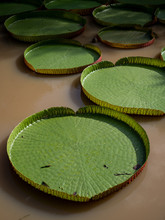 Collection Of Giant Lily Pads