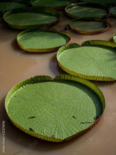 Valokuva Collection of giant lily pads