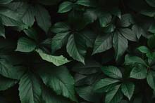 Close Up Of Dark Green Wild Vine Leaves In Park