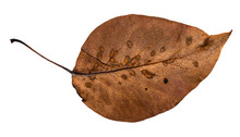 Dried Fallen Brown Autumn Leaf Of Apple Tree