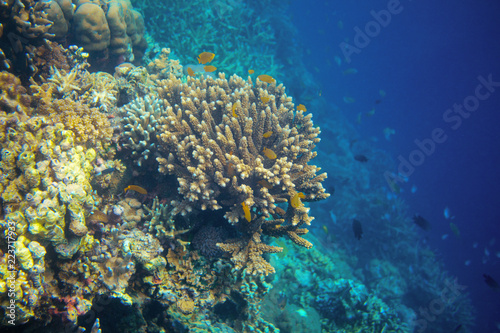 Foto op Aluminium Onder water Underwater landscape with coral fish. Yellow tropical fish in coral reef wall. Coral fish family closeup.