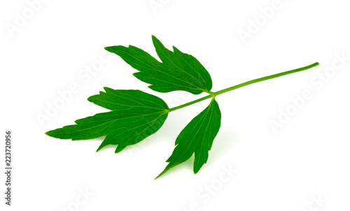 Photo  Lovage Medicinal and Culinary Herb Plant