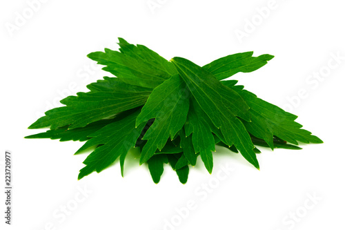 Foto  Lovage Medicinal and Culinary Herb Plant