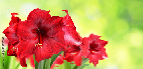 Red Amaryllis flowers on green natural blurred background. Wallpaper Mural