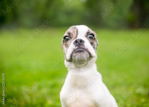 Foto  A cute Bulldog mixed breed puppy with a comical grumpy expression