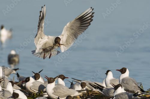 Colonie de mouettes rieuses au marais du Crotoy. (Chroicocephalus ridibundus - Black-headed Gull)