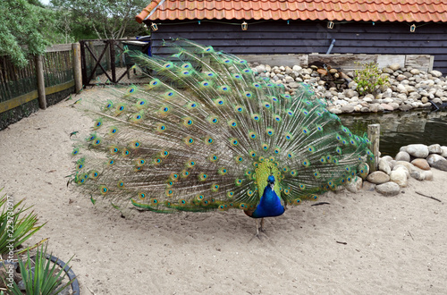 Foto op Aluminium Pauw Peacock with a beautiful tail in a private zoo enjoys nature