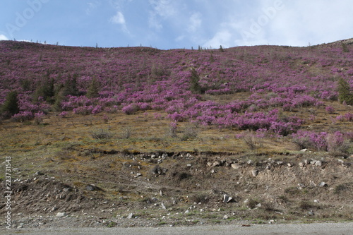Flowers of rhododendron at Mountains Altai (Russia)