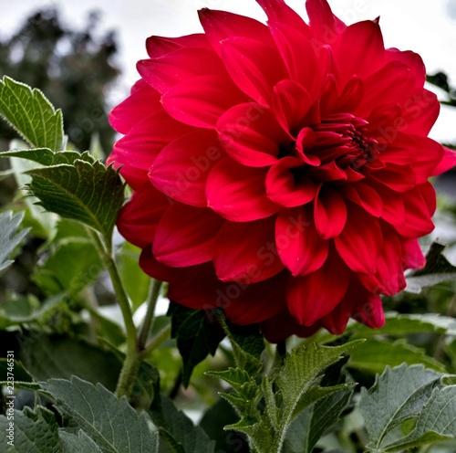 In de dag Dahlia red Dahlia flower