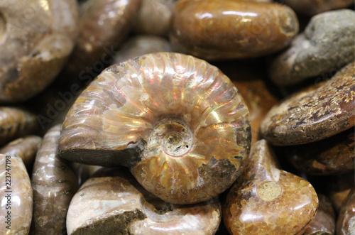 versteinerter Ammonit