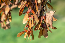 Brown Leaves And Seeds Of A Fa...