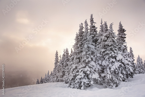 Aluminium Prints Dark grey Snowy trees during sunset in the Pacific Northwest