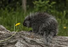 Porcupine Smelling Flower
