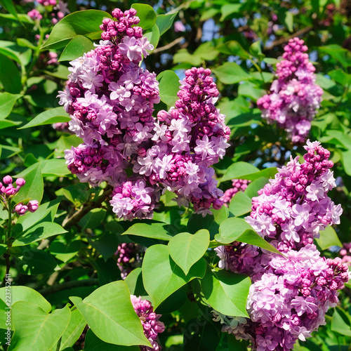 Keuken foto achterwand Lilac Purple lilac flowers spring blossom background.