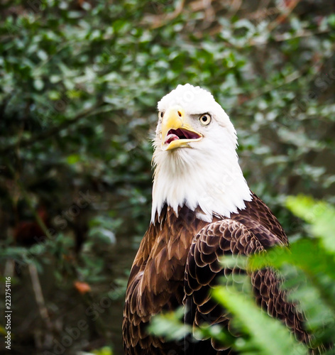 American Bald Eagle in Bush Head Portrait