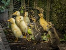 Ducklings, Indian Runner Ducks