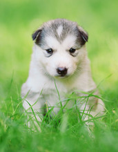 Siberian Husky Puppy On Green ...