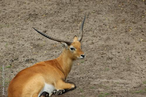 Deurstickers Antilope Litschi-Wasserbock (Kobus) in einer Nahaufnahme