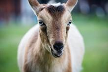 Nigerian Dwarf Goat Portrait, ...