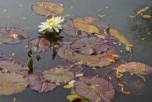 Nymphaeaceae Is A Family Of Flowering Plants, Commonly Called Water Lilies.