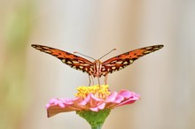 Gulf Fritillary Butterfly On A...