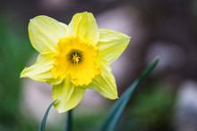 Yellow Daffodil Bloom In Garde...