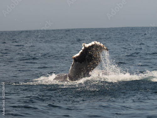 Flosse vom Humpback Whale