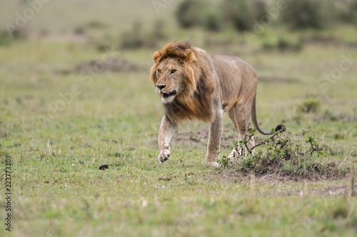 Fotografie, Obraz  Male African lion in Masai Mara, Kenya