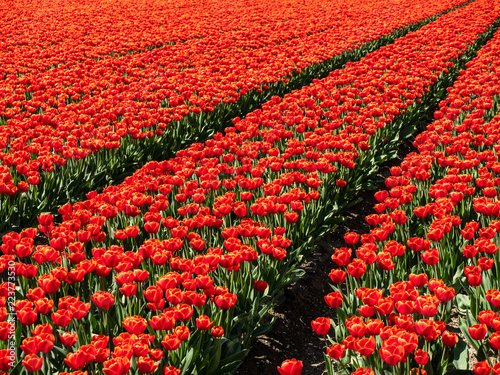 Colorful tulip fields in the Netherlands