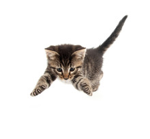 Cute Tabby Kitten Pouncing