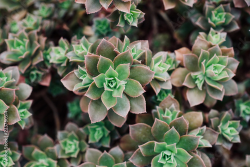 Fototapeta mexican typical plant summer pattern, green cactus, aloe, succulent obraz