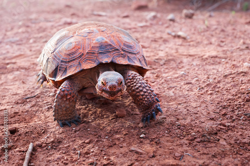 Sonoran Desert Tortoise (Gopherus morafkai)  in Snow Canyon State Park, Utah, US. Threatened vulnerable species   in  Nature Red List.