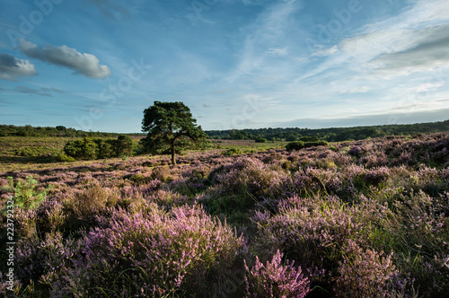 Fotobehang Cappuccino Stunning Summer sunset landscape image of Bratley View in New Forest National Park England