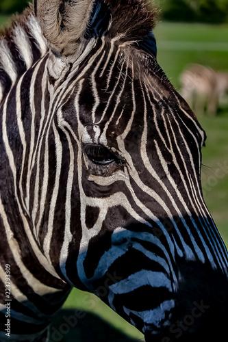 A zebra on a grassy savannah.