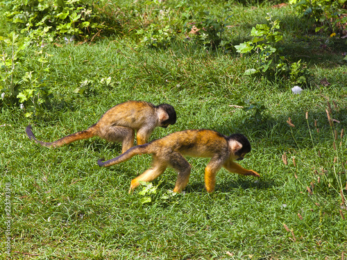 Squirrel monkey on the green grass