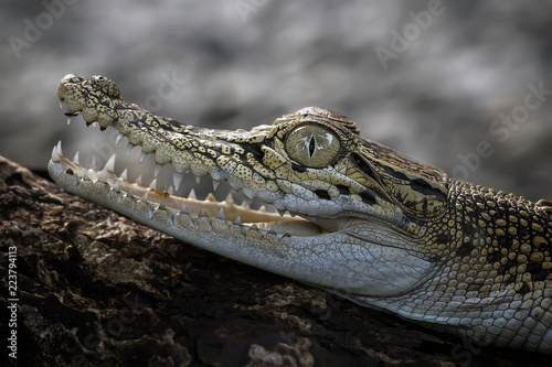 Baby Crocodile - Reptile Photo Collection