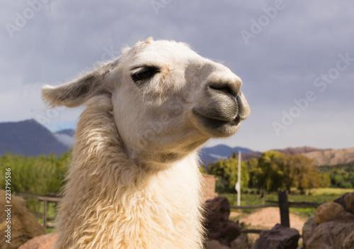 Fotobehang Lama Llama (Lama glama) in Purmamarca, Jujuy, Argentina