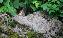 Chipmunk Cautiously Peers Over...