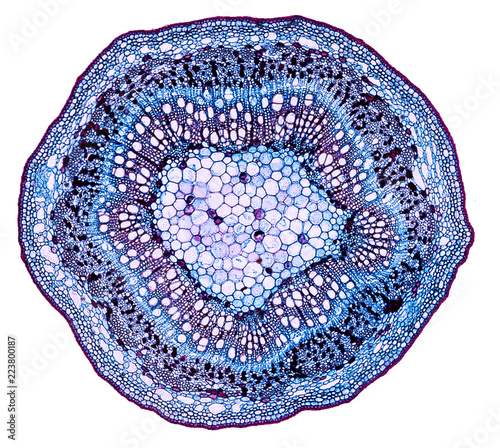 populus stem - cross section cut under the microscope – microscopic view of plant cells for botanic education