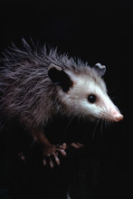 North American Opossum (Didelp...