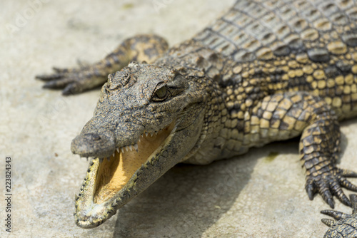 Foto op Aluminium Krokodil Young Crocodile lying with jaws open in Crocodile Park, Uganda