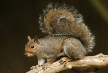 A Stunning Grey Squirrel  (Sciurus Carolinensis) Sitting On A Branch In A Tree.